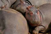 Hippopotamus in the national park — Stock Photo