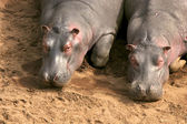 Hippopotamus in the national park — Stok fotoğraf