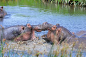 Hippo in the wild — Stock Photo
