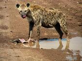 Hyena in the national park in Tanzania — Stockfoto