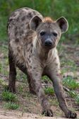 Hyena in the national park in Tanzania — Stock Photo