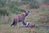 гиена в национальном парке в танзании — Стоковое фото