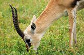 Impala no parque de nacional da tanzânia — Fotografia Stock
