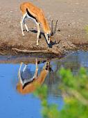 Impala in tanzania's nationaal park — Stockfoto