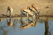 Impala in Tanzania's national park — Stock Photo