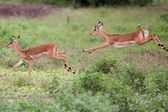 Impala in Tanzania's national park — ストック写真