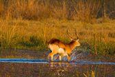Impala Tanzanya'nın Milli Parkı — Stok fotoğraf
