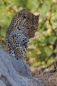 Leopard in the wild tanzania — Stock Photo