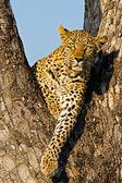 Leopard v divoké tanzanie — Stock fotografie