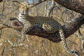 Leopard in the wild tanzania — Zdjęcie stockowe