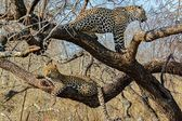 Leopard in the wild tanzania — Stock Photo