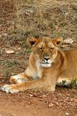 Lion pride in the tanzania national park — Stock Photo