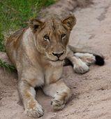 Leeuw van verschillende nationale parken van tanzania — Stockfoto