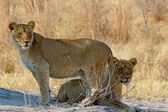 Lion de différents parcs nationaux de tanzanie — Photo