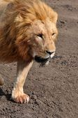 Lion from different national parks of Tanzania — Stock Photo