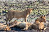 Lev z různých národních parcích Tanzanie — Stock fotografie