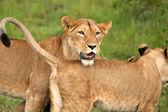 从不同的国家公园,坦桑尼亚的狮子 — 图库照片