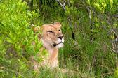 Leone da diversi parchi nazionali della tanzania — Foto Stock