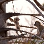 Постер, плакат: Monkey in tanzanian wilderness