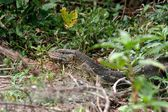 Monitor lizard — Stock Photo