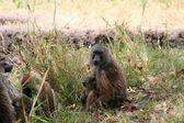 Monkey in tanzanian wilderness — Stock Photo