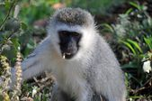 Monkey in tanzanian wilderness — Photo