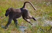 Monkey in tanzanian wilderness — Stock Photo
