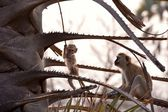 Monkey in tanzanian wilderness — Stockfoto