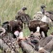Vultures in tanzanias national park — Stock Photo
