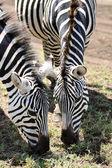 Zebra in the wild tanzania — Stock Photo