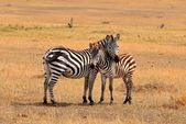 Zebra in the wild tanzania — Stock Photo