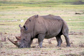 Rhino in the tanzanian national park — Stock Photo