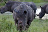 Rhino in the tanzanian national park — Stock Photo