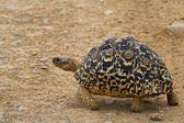 Tortoise in the wild — Stock Photo