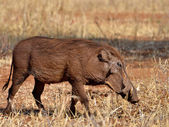 Warthog in Tanzania's national park — Stockfoto