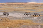 Warthog in Tanzania's national park — Zdjęcie stockowe