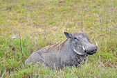 Warthog in Tanzania's national park — Stock Photo
