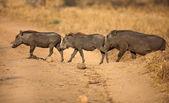 Javali no parque de nacional da Tanzânia — Fotografia Stock