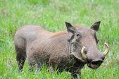 Warthog in Tanzania's national park — Stock Photo