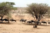 Wildbeest migration in serengeti national park — Stock Photo