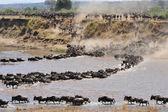 Wildbeest migration in serengeti national park — Stock Photo