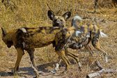 Wild dogs of selous game reserve — Stock Photo