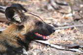 Vahşi köpekler selous oyun rezerv — Stok fotoğraf