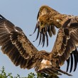 Vulture from tanzania — Photo