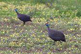 Vulture bird from tanzania — Stock Photo