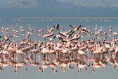 Flamingo breeding on the lake — Stock Photo