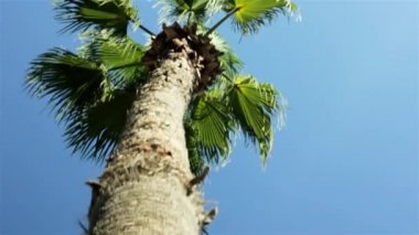 Camera moves from close up branch to top of palm in the blue sky — Stock Video