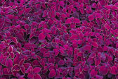 Deep magenta leaves — Stock Photo
