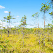 Bog and pines — Stock Photo
