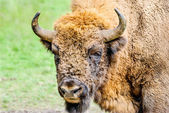Portrait of the European bison — Stock Photo